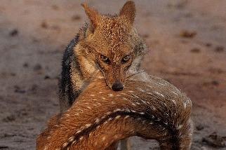 胡狼的獵物