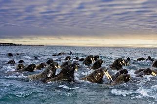 大西洋海象