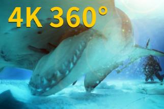 4K 360° VR:在巴哈馬海域撞見無溝雙髻鯊(記得回頭!)