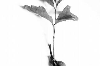 一棵橡樹的誕生