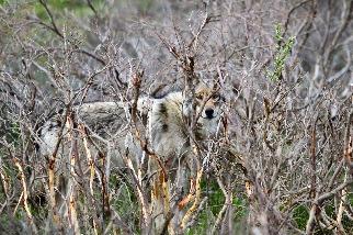 阿拉斯加的狼