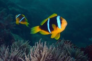 真的「魚累累」 玻里尼西亞珊瑚礁研究發現 光害使小丑魚存活率降36%