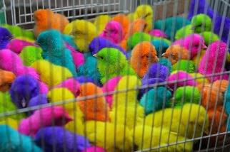 瓦吉夫市集上的染色小雞