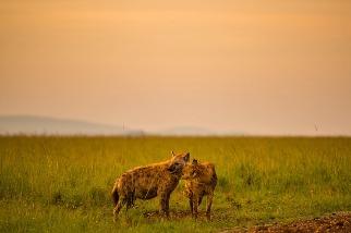 寄生蟲的「心靈控制」讓鬣狗寶寶對獅子失去戒心