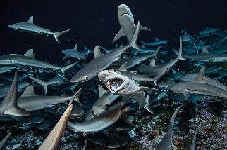 鯊魚以令人訝異的方式維護海洋健康