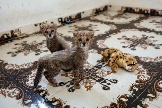 打擊非法獵豹幼崽貿易,人人都能做到!