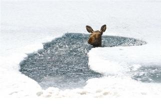 被冰困住的駝鹿