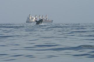 極度瀕危 研究揭北大西洋露脊鯨暖化困境 北移覓食反陷另一危機