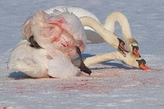 激烈的天鵝之戰