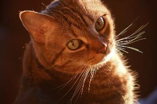 虎斑貓的條紋是怎麼來的?科學家透過胚胎找到了答案!