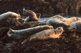 夕陽下的海豹
