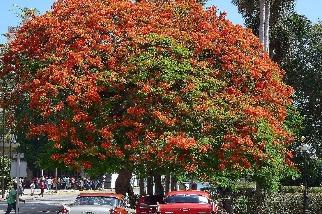 哈瓦那的鳳凰樹與老爺車