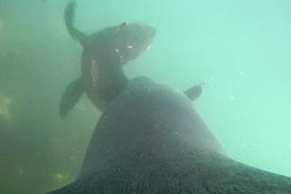 POV視角:看豹斑海豹在南極海域獵捕毛皮海獅幼崽