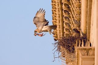 有許多鳥兒在COVID-19封城期間飛進了城市,這究竟是好還是壞?