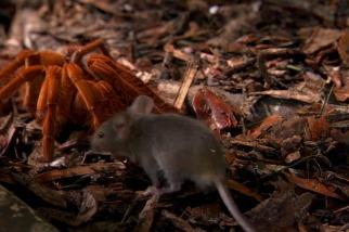 這種「巨人蜘蛛」大到能吃老鼠