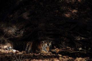 炎夏中乘涼的小老虎