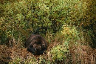 打瞌睡的灰熊
