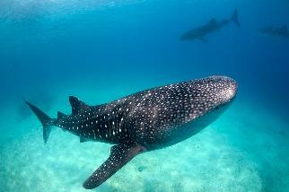 1/3鯊魚和魟魚恐因過度捕撈消失 科學家推追蹤技術「救鯊鯊」