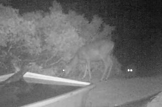 罕見畫面:相機陷阱拍下美洲獅獵捕鹿隻