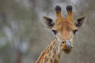 圖集:世上最高的哺乳類動物