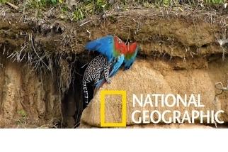 粗心鸚鵡開心吃土,下一秒卻成美洲豹貓的午餐