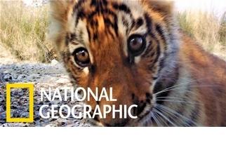 保育有成!尼泊爾老虎數量爬升至235隻