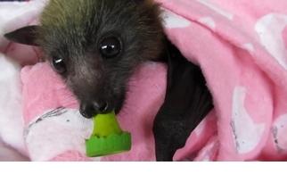 看澳洲「蝙蝠媽媽」如何細心呵護小蝙蝠