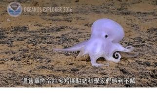 直擊深海章魚,魅幻飄忽