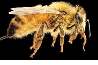 備用蜜蜂?