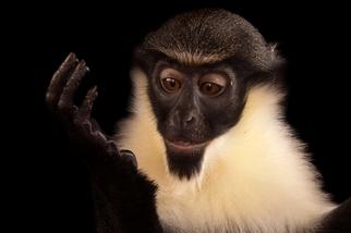奧馬哈動物園:黛安娜鬚猴