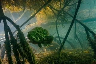 大西洋珍寶:伊氏石斑