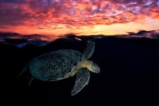 夕陽下的海龜