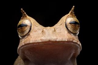 不產蝌蚪的怪蛙,野外消失十年後再度現身