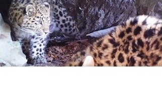 直擊世界上超級稀有的大貓!