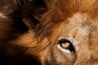 南非獅子攻擊遊客致死事件的背後……