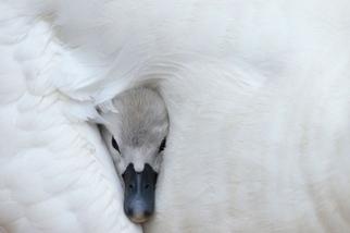 溫暖懷抱:天鵝幼雛