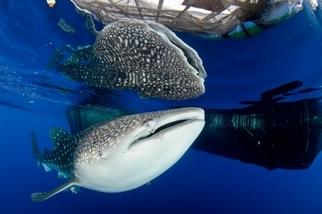 手機簡訊拯救了遭困的鯨鯊