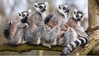 【動物好朋友】環尾狐猴(Ring-tailed lemur)