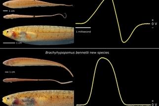 電魚新魚種,截然不同