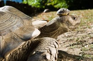 問答集:陸龜可以活到300歲嗎?