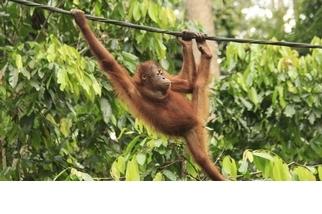 【動物好朋友】婆羅洲猩猩(Hominidae)