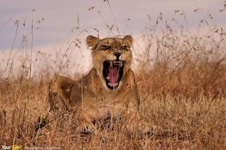 母獅呼叫牠的小獅!