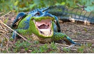 【動物好朋友】美國短吻鱷(American alligator)