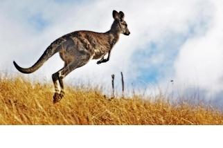 【動物好朋友】袋鼠(Kangaroo)