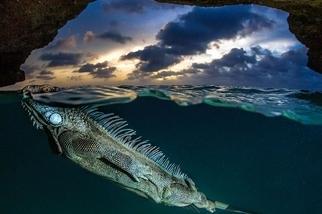 不速之客:海鬣蜥