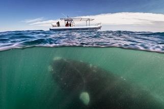 令人讚嘆的南露脊鯨