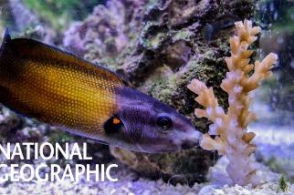 這條魚為什麼要「親吻」珊瑚呢?