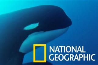 神祕的「D型虎鯨」有可能是獨立物種