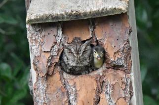 為何這隻貓頭鷹將鴨寶寶視如己出?