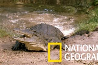 斑馬渡河,鱷魚在後!